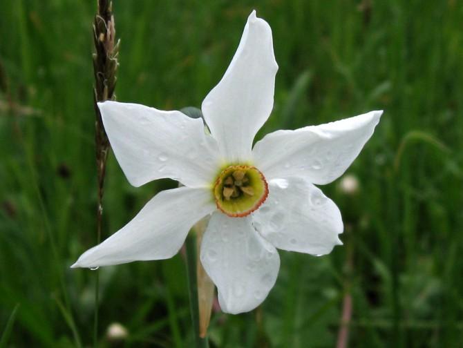 Narcissi in bloom… around Caux (2 half-day walks)*