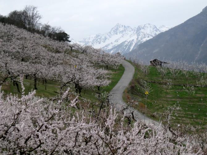 Saxon-Charrat: Adonis and apricot blossom**