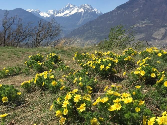 Saxon-Charrat: Adonis in flower**